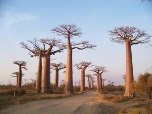 Maurice -  Baobabs, région de Morondava (Madagascar)