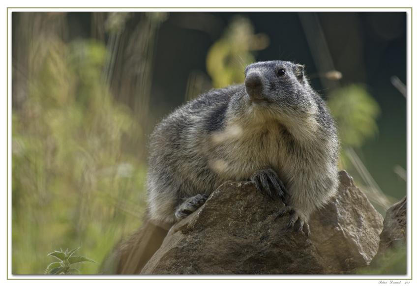 Combe-Amburnex-Marmotte