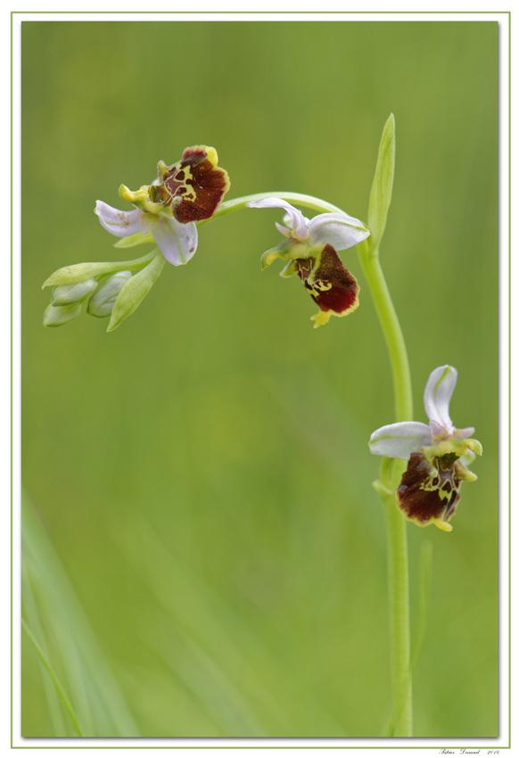 Orchidées-pays-de-gex
